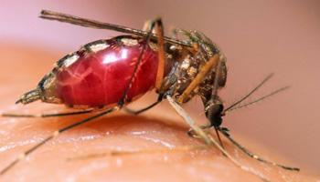 Как выглядит комар под микроскопом?